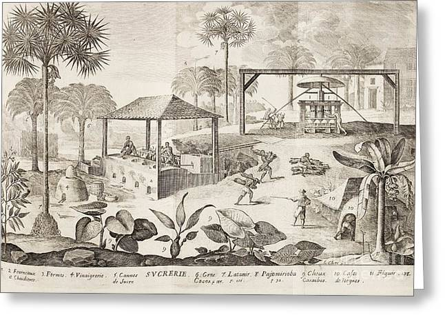 African American History Greeting Cards - Caribbean Sugar Cane Plantation, 1660s Greeting Card by British Library