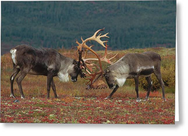 Caribou Greeting Cards - Caribou Males Sparring Greeting Card by Matthias Breiter