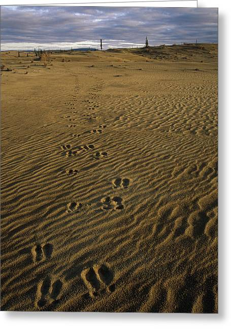 Sand Patterns Greeting Cards - Caribou Tracks In The Great Kobuk Sand Greeting Card by Nick Jans