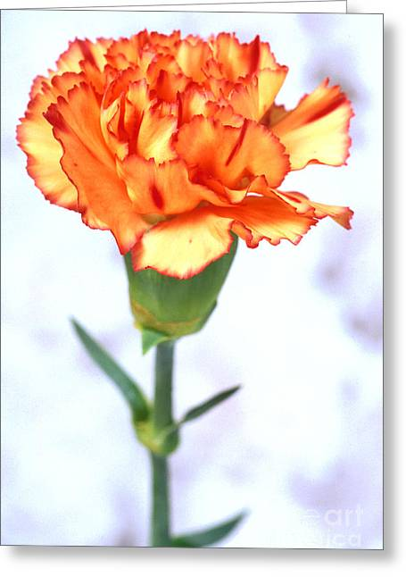 Carl Perkins Greeting Cards - Carnation Greeting Card by Carl Perkins