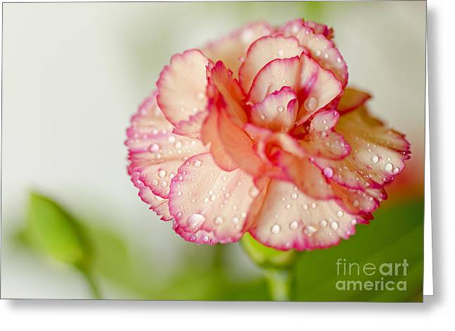 Springy Greeting Cards - Carnation Macro Greeting Card by Nick  Boren
