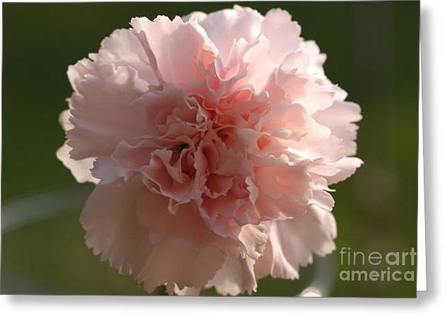 Pink Carnations Greeting Cards - Carnation Pink 1 Greeting Card by Carol Lynch