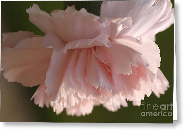 Pink Carnations Greeting Cards - Carnation Pink 2 Greeting Card by Carol Lynch