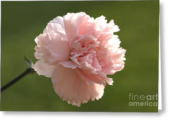 Pink Carnations Greeting Cards - Carnation Pink 3 Greeting Card by Carol Lynch