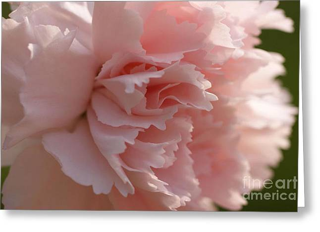 Pink Carnations Greeting Cards - Carnation Pink 4 Greeting Card by Carol Lynch