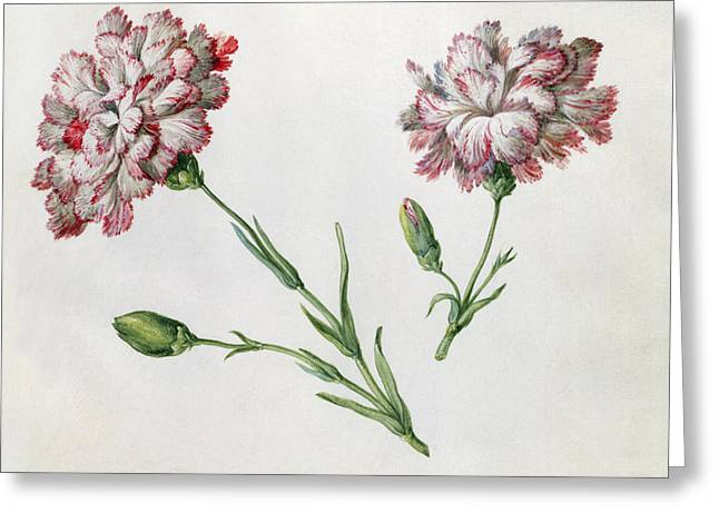 Bud Drawings Greeting Cards - Carnations Greeting Card by Claude Aubriet