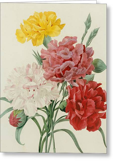Botany Greeting Cards - Carnations from Choix des Plus Belles Fleures Greeting Card by Pierre Joseph Redoute