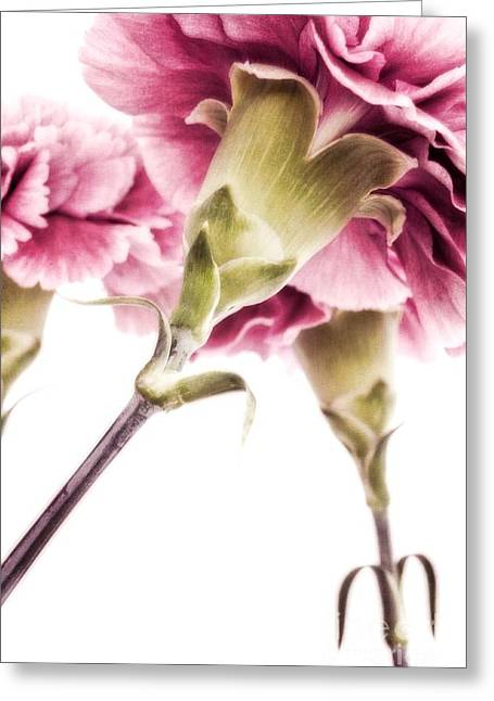 Carnations Greeting Card by Priska Wettstein