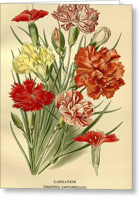 Office Plants Drawings Greeting Cards - Carnations Greeting Card by Philip Ralley