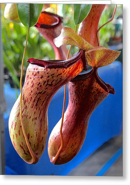 Carnivorous Pitcher Plants Greeting Card by Venetia Featherstone-Witty