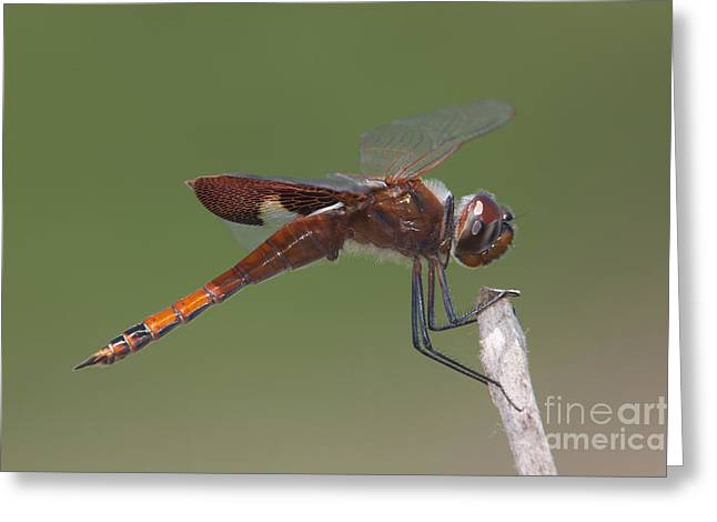 Animalia Greeting Cards - Carolina Saddlebags Dragonfly I Greeting Card by Clarence Holmes