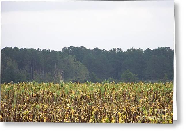 Kevin Croitz Greeting Cards - Carolina Tobacco Field Greeting Card by Kevin Croitz