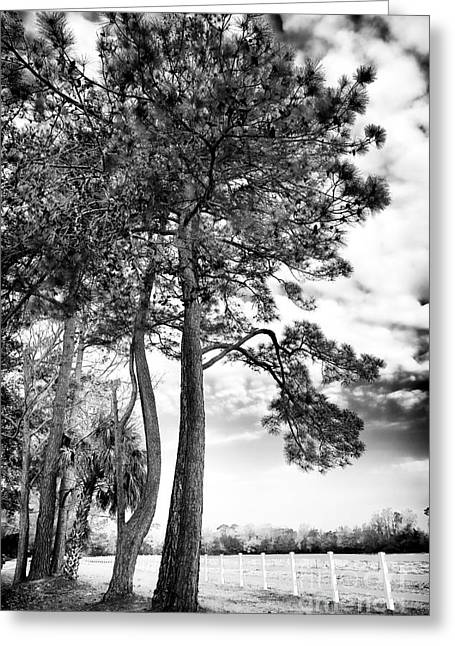 Historic Site Greeting Cards - Carolina Trees Greeting Card by John Rizzuto