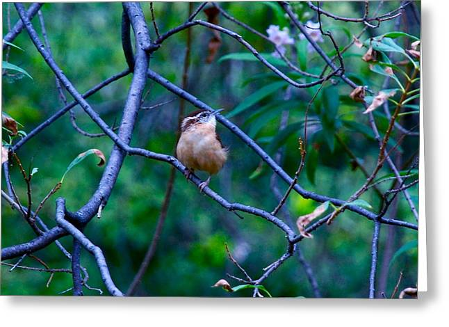 Aggressive Postures Greeting Cards - Carolina Wren Greeting Card by M E Wood