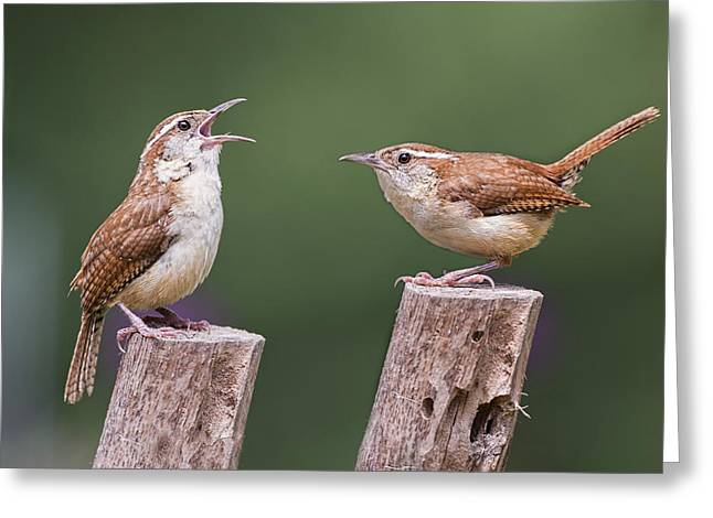 Carolina Wren Serenade Greeting Card by Bonnie Barry