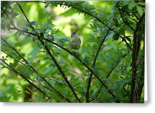 Wahoo Greeting Cards - Carolina Wren sitting in a Winged Elm Tree Greeting Card by Kim Pate