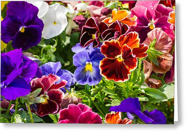 Viola Tricolor Greeting Cards - Carpet of Nature 2 - Featured 3 Greeting Card by Alexander Senin