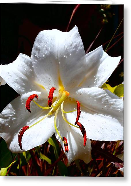 Casa Blanca White Lily Greeting Card by Janine Riley