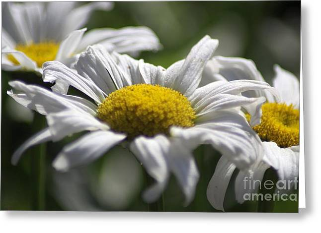 Nature Greeting Cards - Cascade Daisy Blooms Greeting Card by Mrsroadrunner Photography