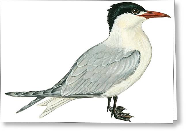 White Background Drawings Greeting Cards - Caspian tern Greeting Card by Anonymous