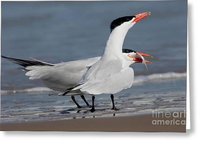 Tern Greeting Cards - Caspian Tern Giving Fish To Mate Greeting Card by Anthony Mercieca