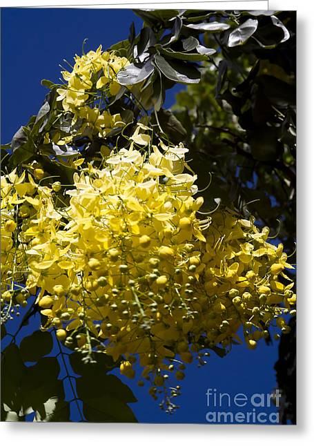 Cassia Fistula - Golden Shower Tree Greeting Card by Sharon Mau