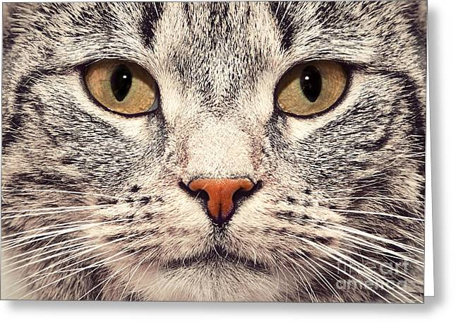 Gray Hair Greeting Cards - Cat face close up portrait Greeting Card by Michal Bednarek