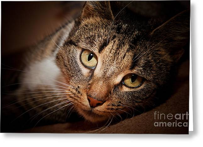 Cute Kitten Greeting Cards - Cat face portrait Greeting Card by Michal Bednarek