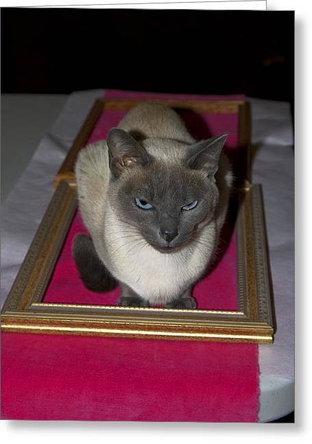 Tonkinese Cat Greeting Cards - Cat in Frame Greeting Card by Sally Weigand