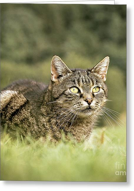 Gray Hair Greeting Cards - Cat In Grass Greeting Card by Hans Reinhard/Okapia