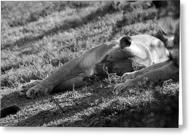 Lioness Greeting Cards - Cat Nap Greeting Card by Chris Whittle