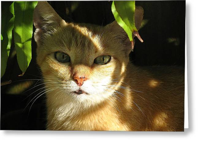 Photos Of Calico Cats Greeting Cards - Cat of Key West Greeting Card by Melinda Saminski