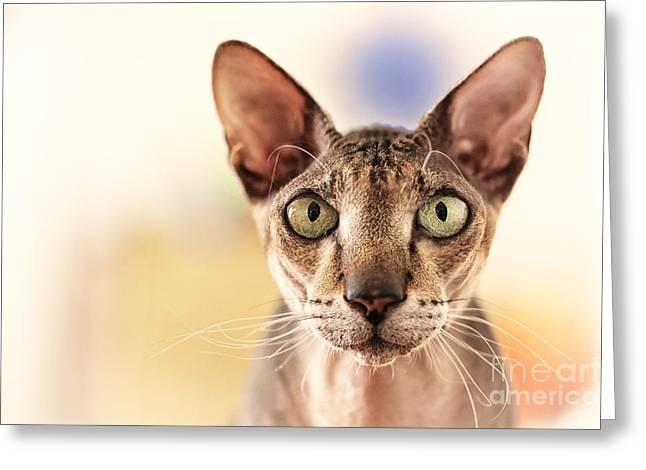 Sphynx Cat Portrait Greeting Cards - Cat portrait Greeting Card by Konstantin Sutyagin