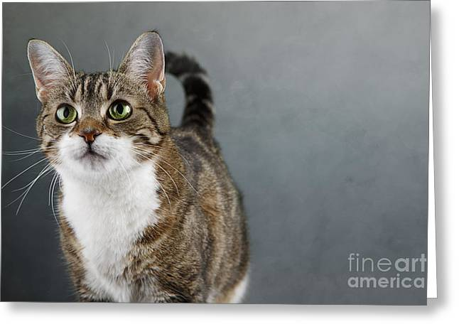Tricolored Greeting Cards - Cat Portrait Greeting Card by Nailia Schwarz