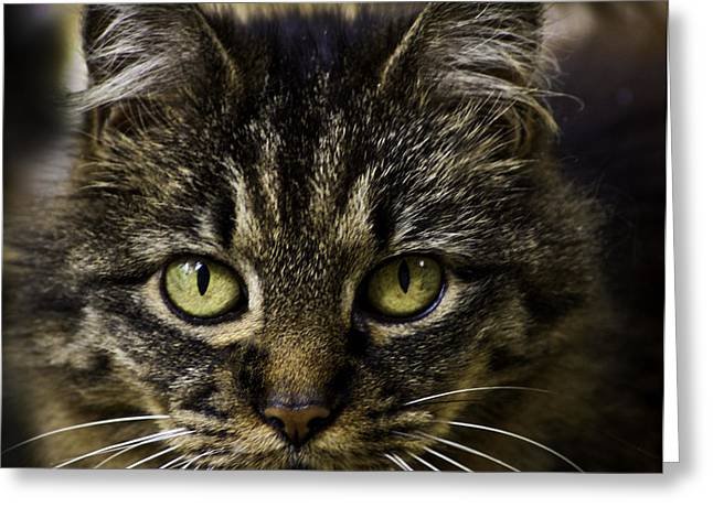 House Pet Greeting Cards - Cat Stare Greeting Card by Gary Bengsch