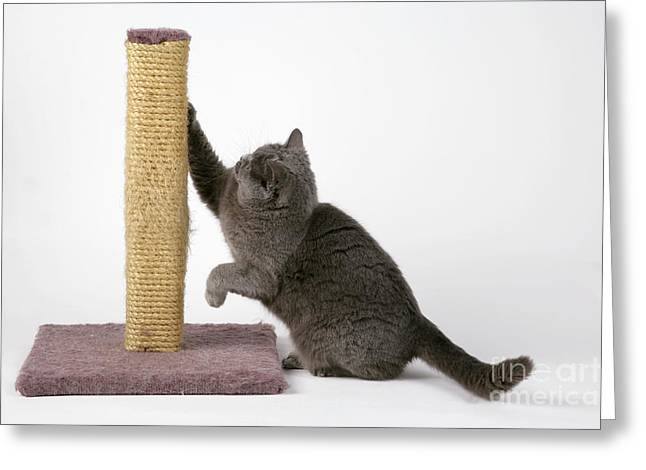 Domestic Pet Portraits.house Cat Greeting Cards - Cat Using Scratching Post Greeting Card by John Daniels