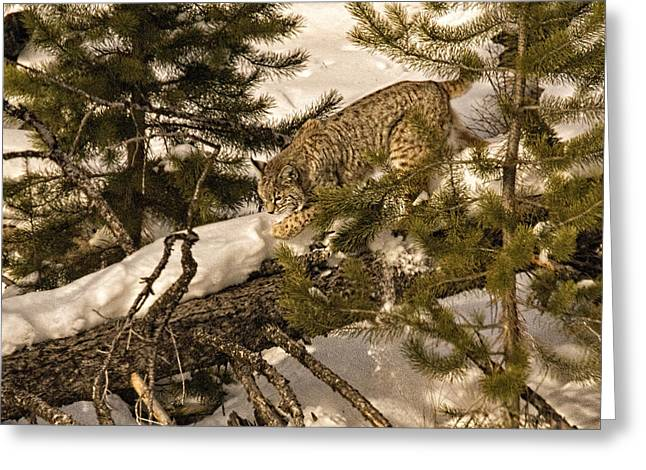 Bobcats Photographs Greeting Cards - Cat Walk Greeting Card by Priscilla Burgers