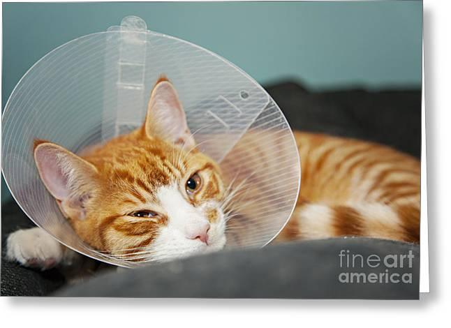 Safety Cones Greeting Cards - Cat with cone after surgery Greeting Card by Sophie McAulay