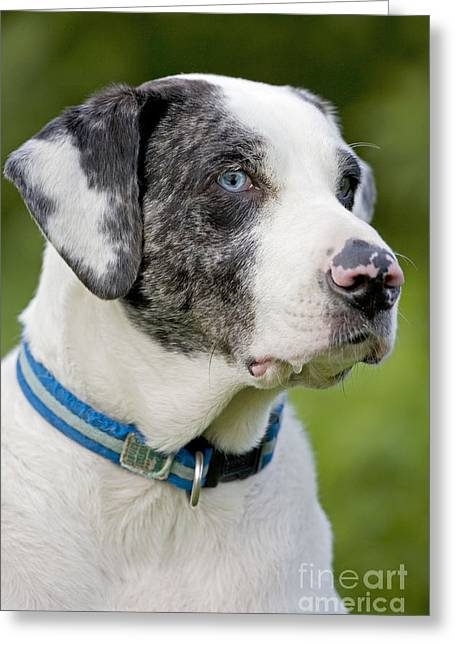 Catahoula Greeting Cards - Catahoula Leopard Dog Greeting Card by John Cancalosi