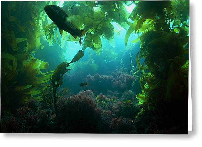 Kelp Forest Greeting Cards - Catalina Kelp Forest Greeting Card by Darren Bradley