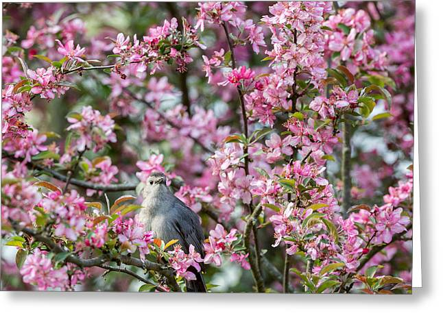 Birds With Flowers Greeting Cards - Catbird In A Pear Tree Greeting Card by Bill  Wakeley