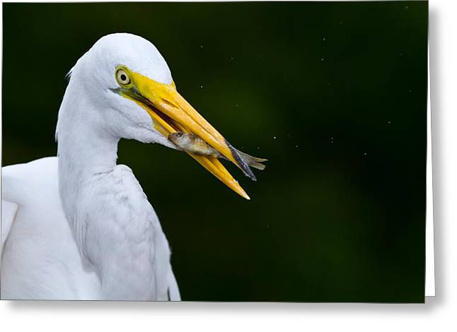 Avian Greeting Cards - Catch of the Day Greeting Card by Andres Leon