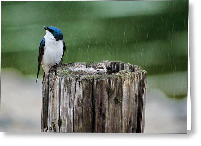 Swallow Photographs Greeting Cards - Catching Raindrops Greeting Card by Jai Johnson