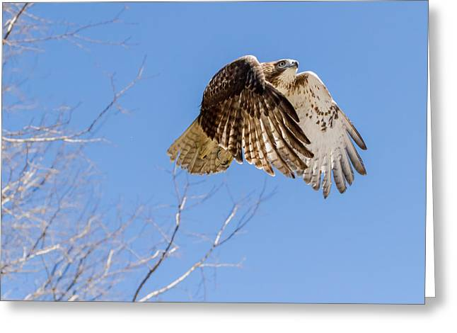 Redtailed Hawks Greeting Cards - Catching The Sun Square Greeting Card by Bill  Wakeley