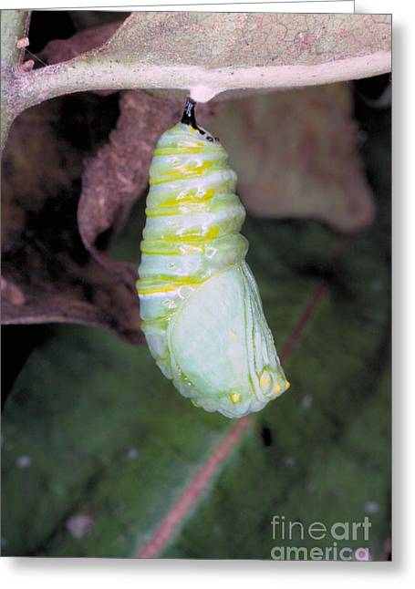 Cocoon Greeting Cards - Caterpillar Changing Into Chrysalis Greeting Card by Millard H. Sharp