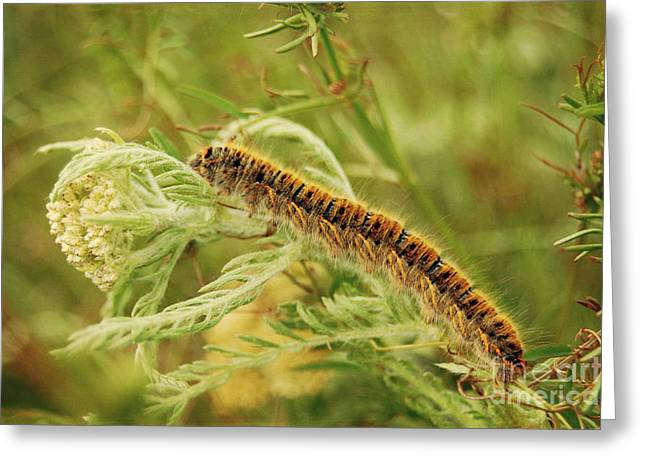 Nature Study Pyrography Greeting Cards - Caterpillar Greeting Card by Christo Christov