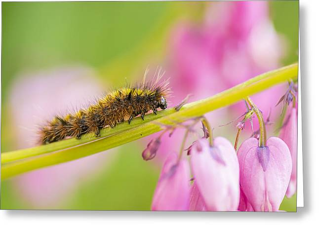 Invertebrates Greeting Cards - Caterpillar - Invertebrate Greeting Card by May L