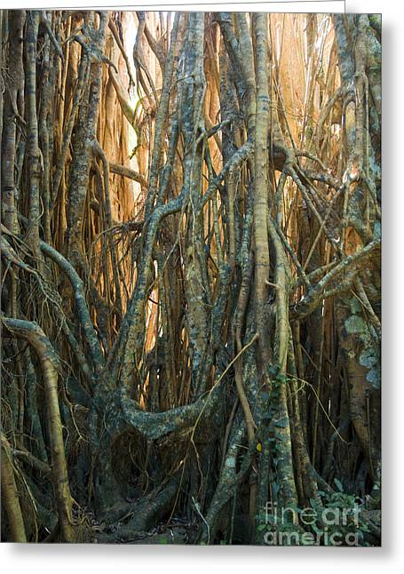 Strangler Fig Greeting Cards - Cathedral Fig In Australia Greeting Card by William H. Mullins