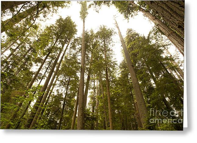Cathedral Forest Greeting Card by Artist and Photographer Laura Wrede