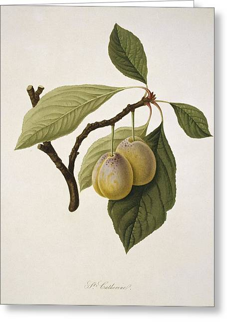 Catherine Greeting Cards - Catherine Plum (1818) Greeting Card by Science Photo Library